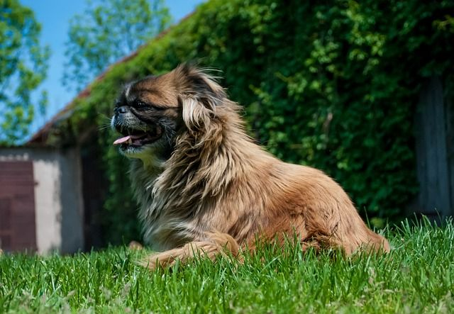 Pekingese Lion Dog