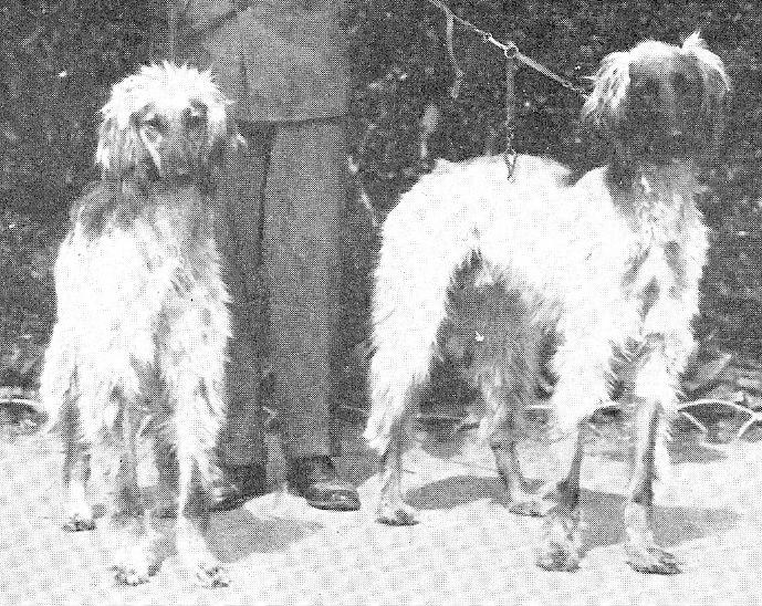 Afghan Hound history