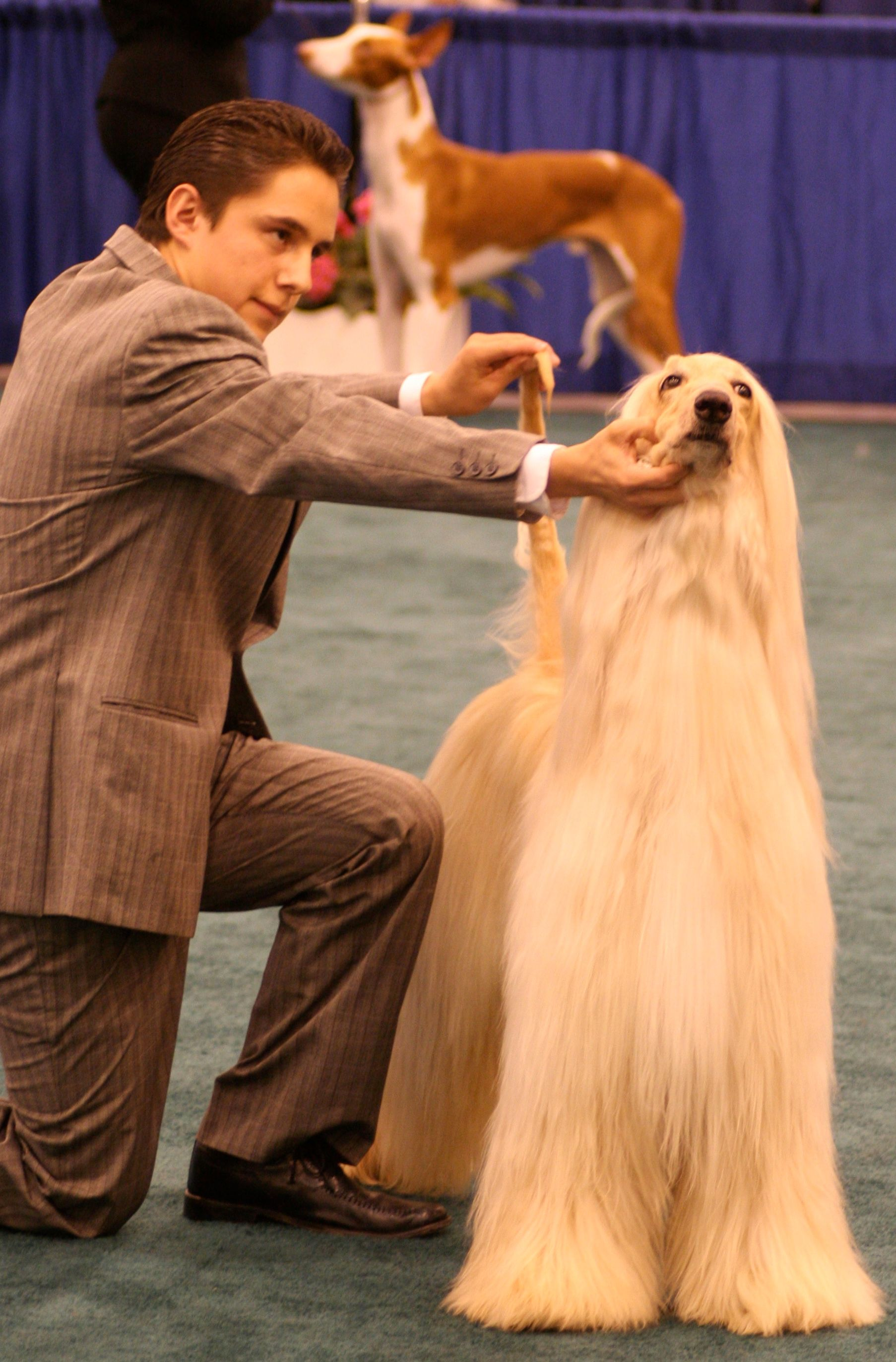 Afghan hound dogshow