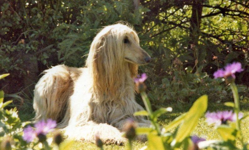 An Afghan Hound