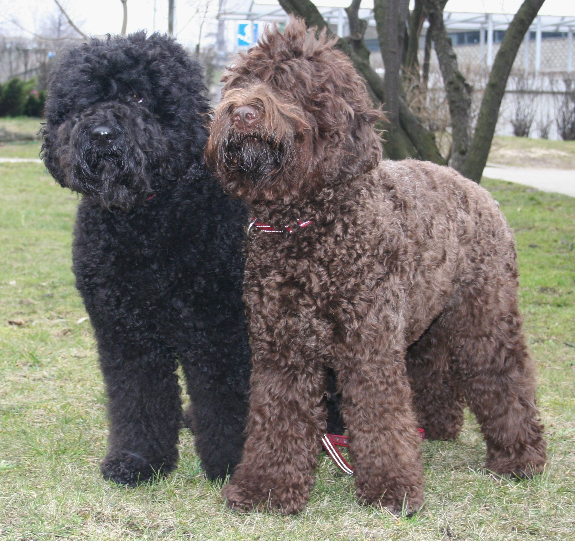 Barbet dog health
