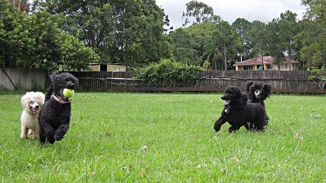 Barbet dogs outdoor playing