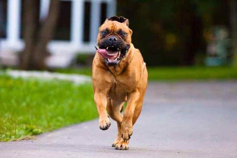 Bullmastiff running scary
