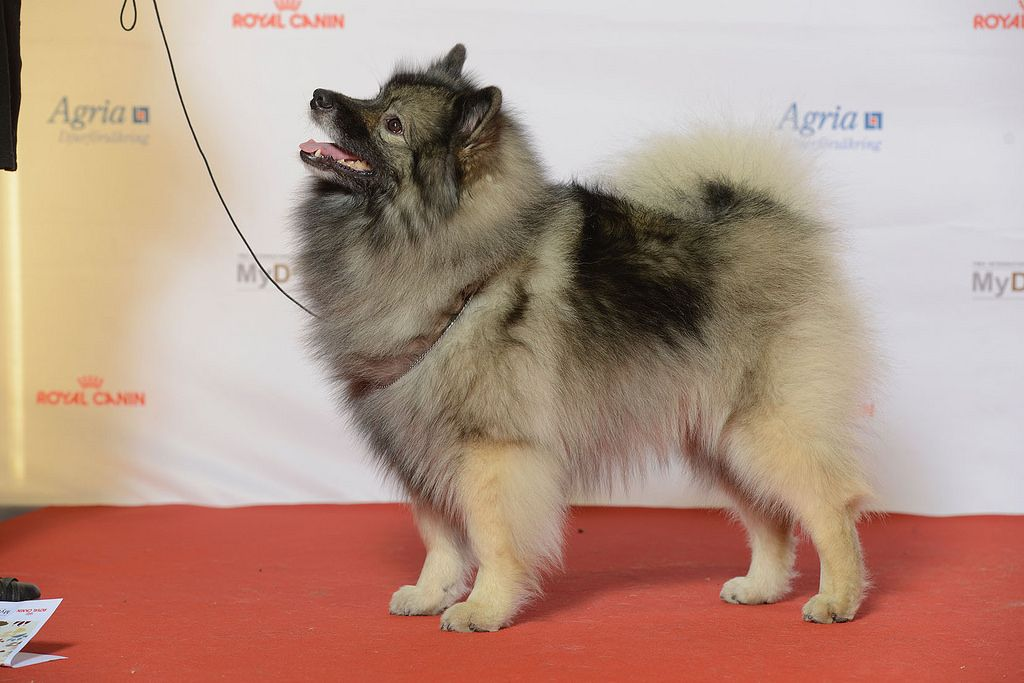 Introduction of Keeshond