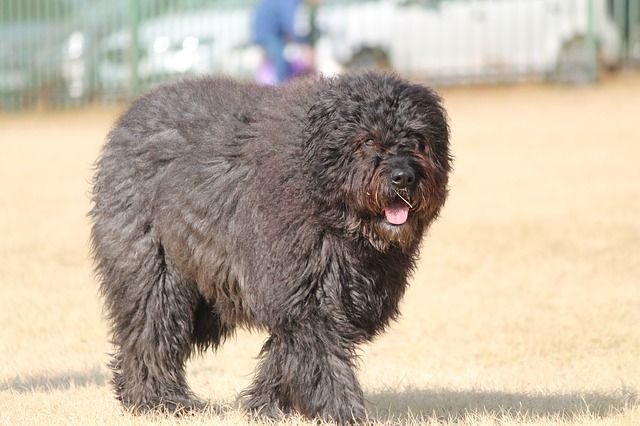 characteristics of Barbet dogs