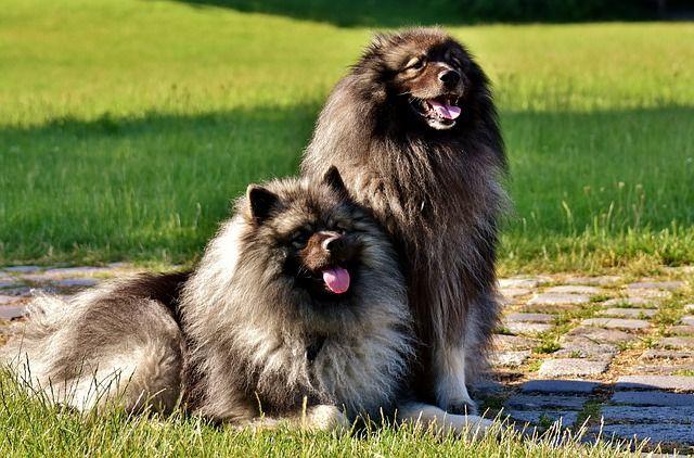 keeshond dog appearance