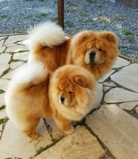 About the Chow Chow