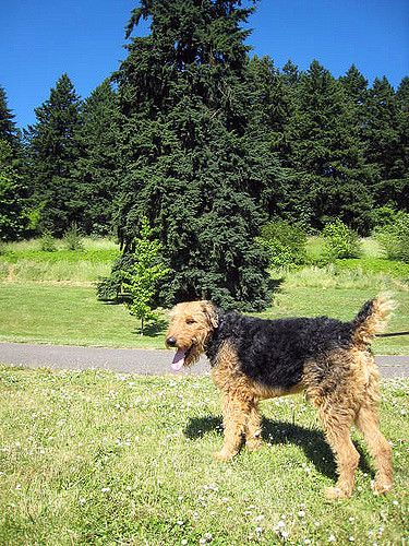 Airedale Terrier appearance