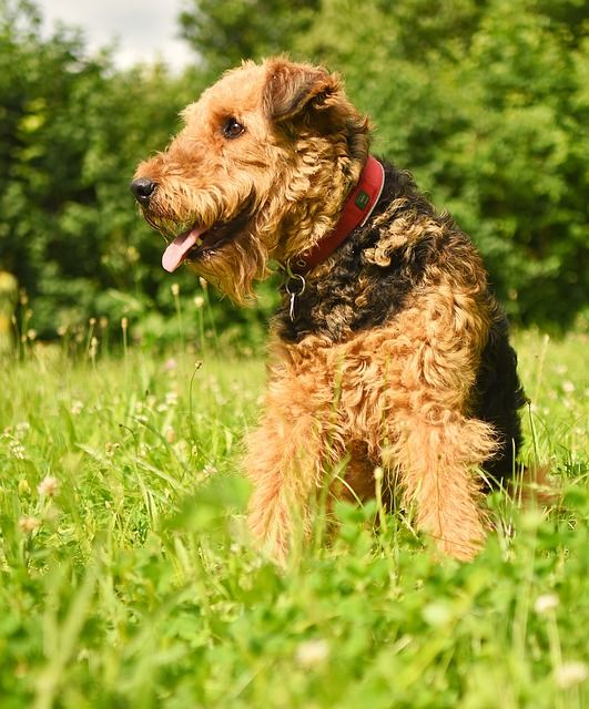 Airedale Terrier grooming