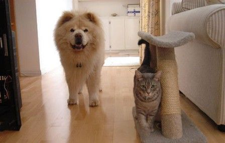 Chow Chow and cat