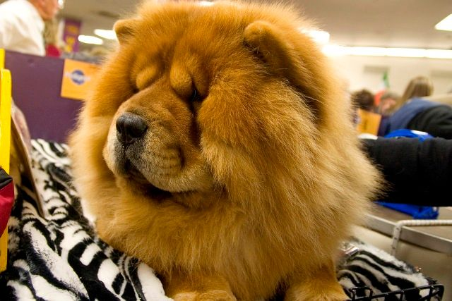 Chow Chow- not a toothy grin