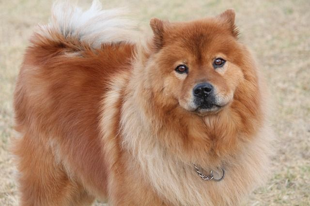 Chow Chow- originally from China