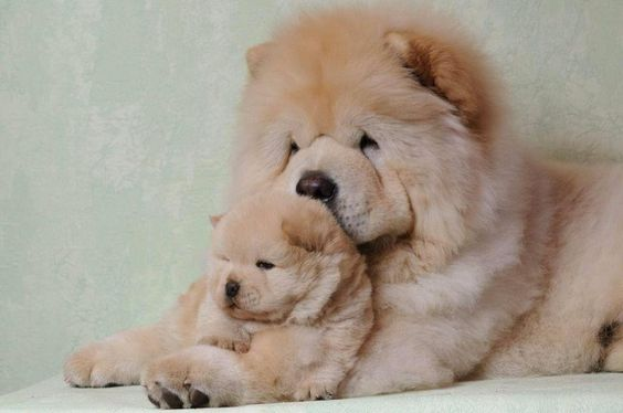 Chow Chow pup with mother