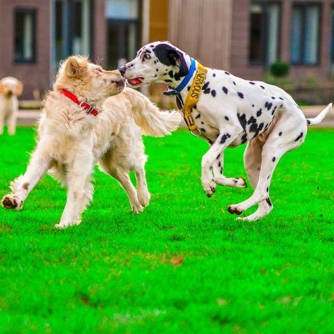 Dalmatian are all-pupose dogs