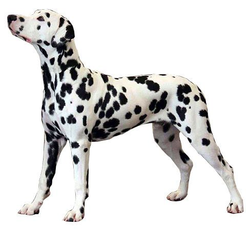 Dalmatian height