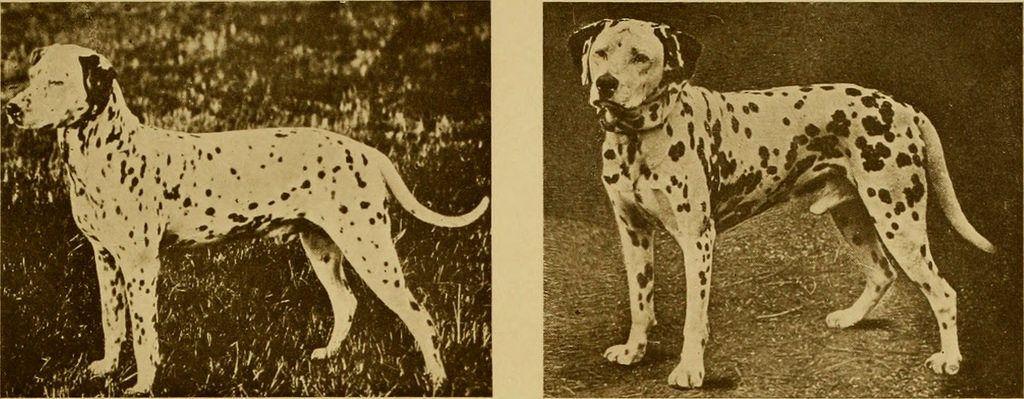 Dalmatian history