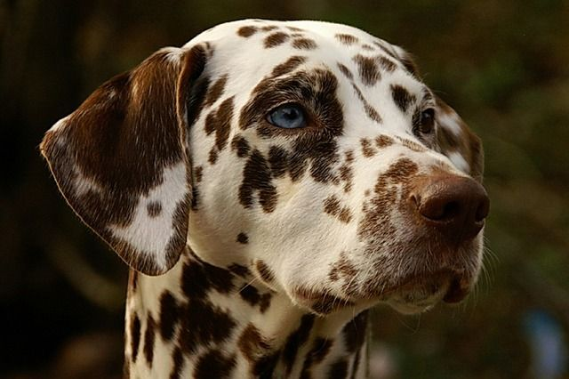 Dalmatian spots present mostly on head and ears