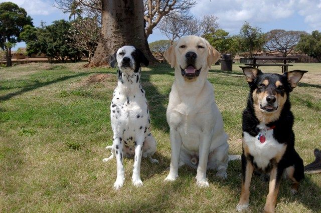 Dalmatians are family dogs