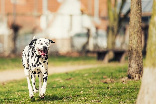 Dalmatians are firedogs