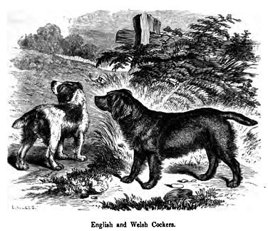 English and Welsh Cockers