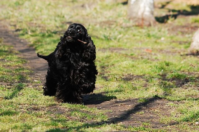 English cocker Spaniel training