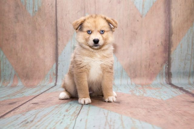 Pomsky dog characteristics