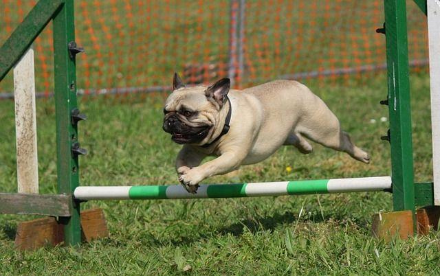 Pug- Training