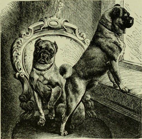 Pug- history