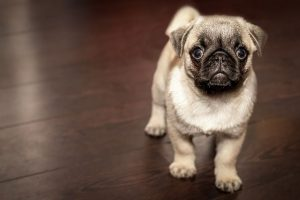 Unique characteristics of Pugs