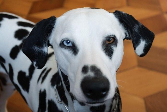 dalmatian eyes