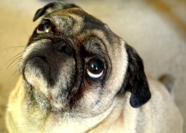 pug- chinese belief about wrinkles