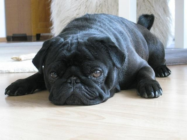 pug- origin of name