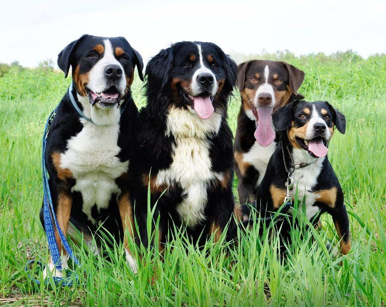 Four Breeds of Sennenhund