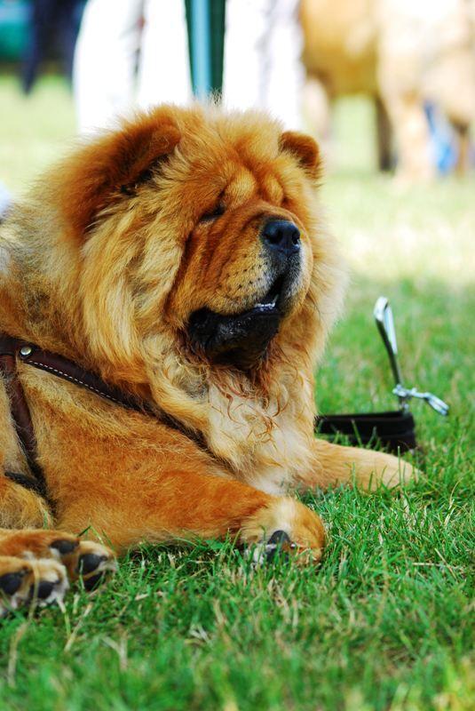 A Chow Chow Dog