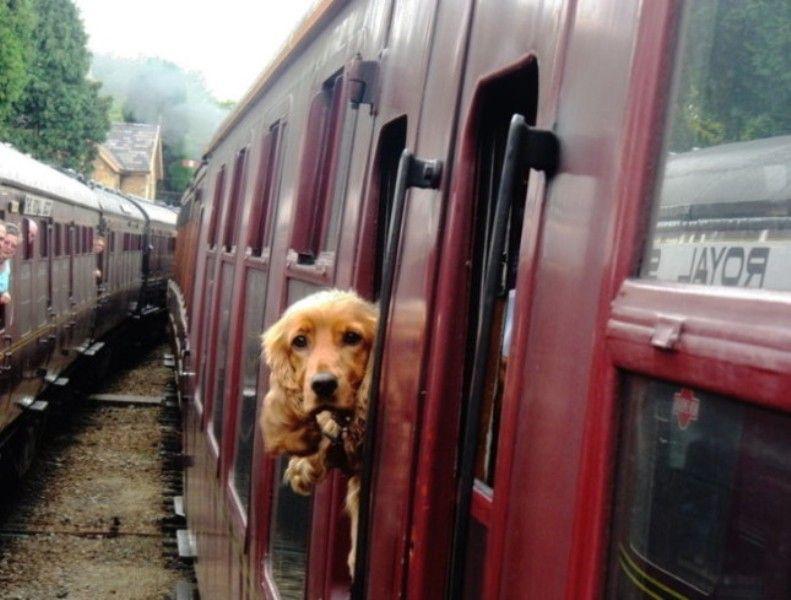 A Dog Peeping Outside A Train