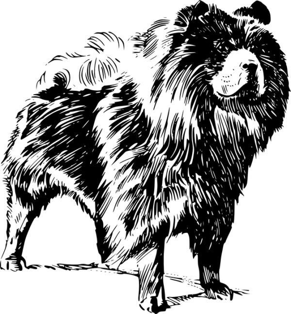 Sketch of a Chow Chow