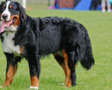 21 Interesting Facts About Bernese Mountain Dog