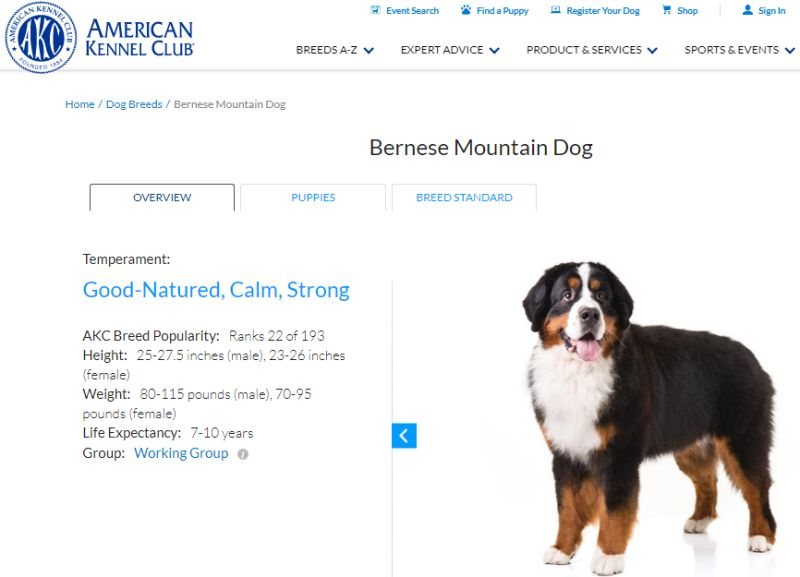 The Bernese Mountain Dog Ranked In The American Kennel Club