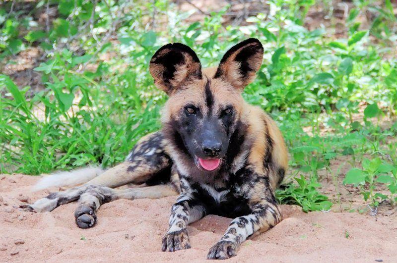 African Wild Dog Toe