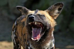 The African Wild Dog