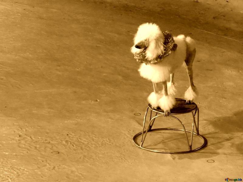 A Poodle Crossbreed