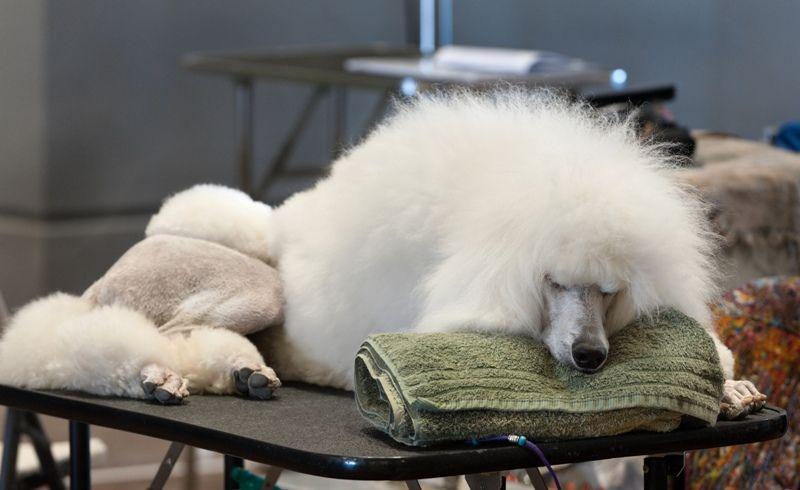 A Sleeping Poodle
