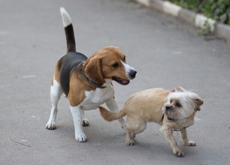 Beagle and other dog-compressed