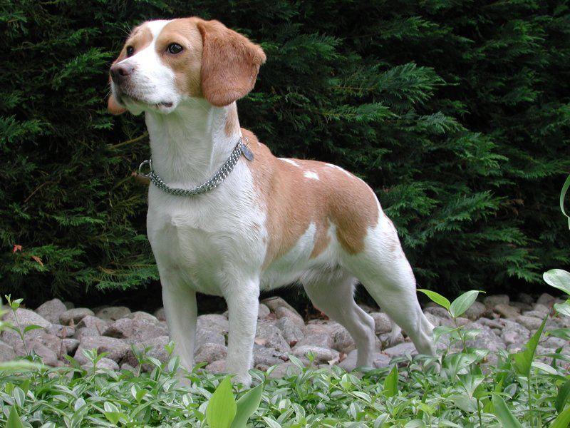 Beagle guard dog-compressed