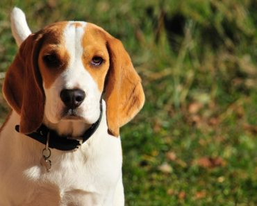 32 Interesting Facts About Beagles