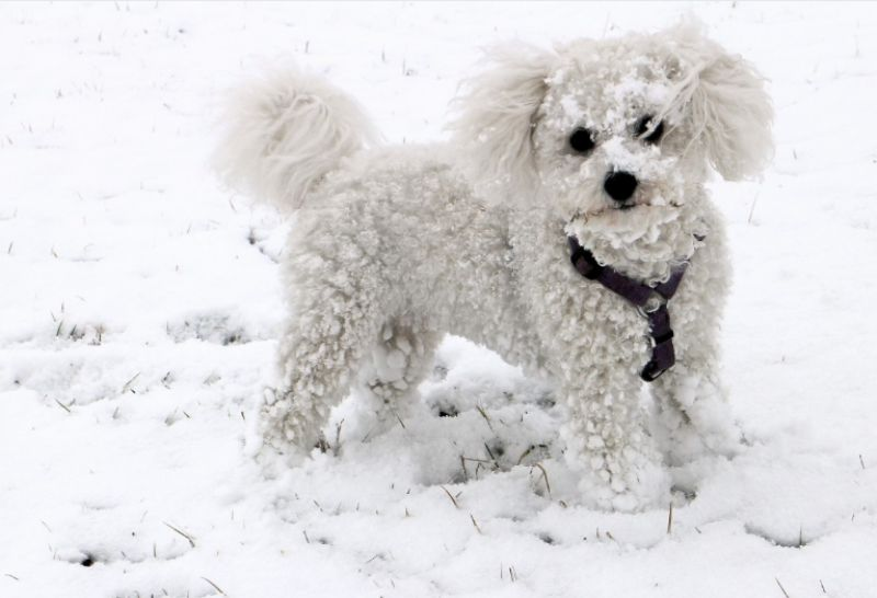 Poodle in Winter