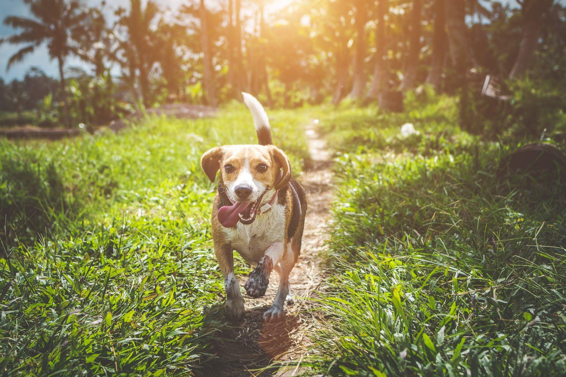 beagle explorer-compressed