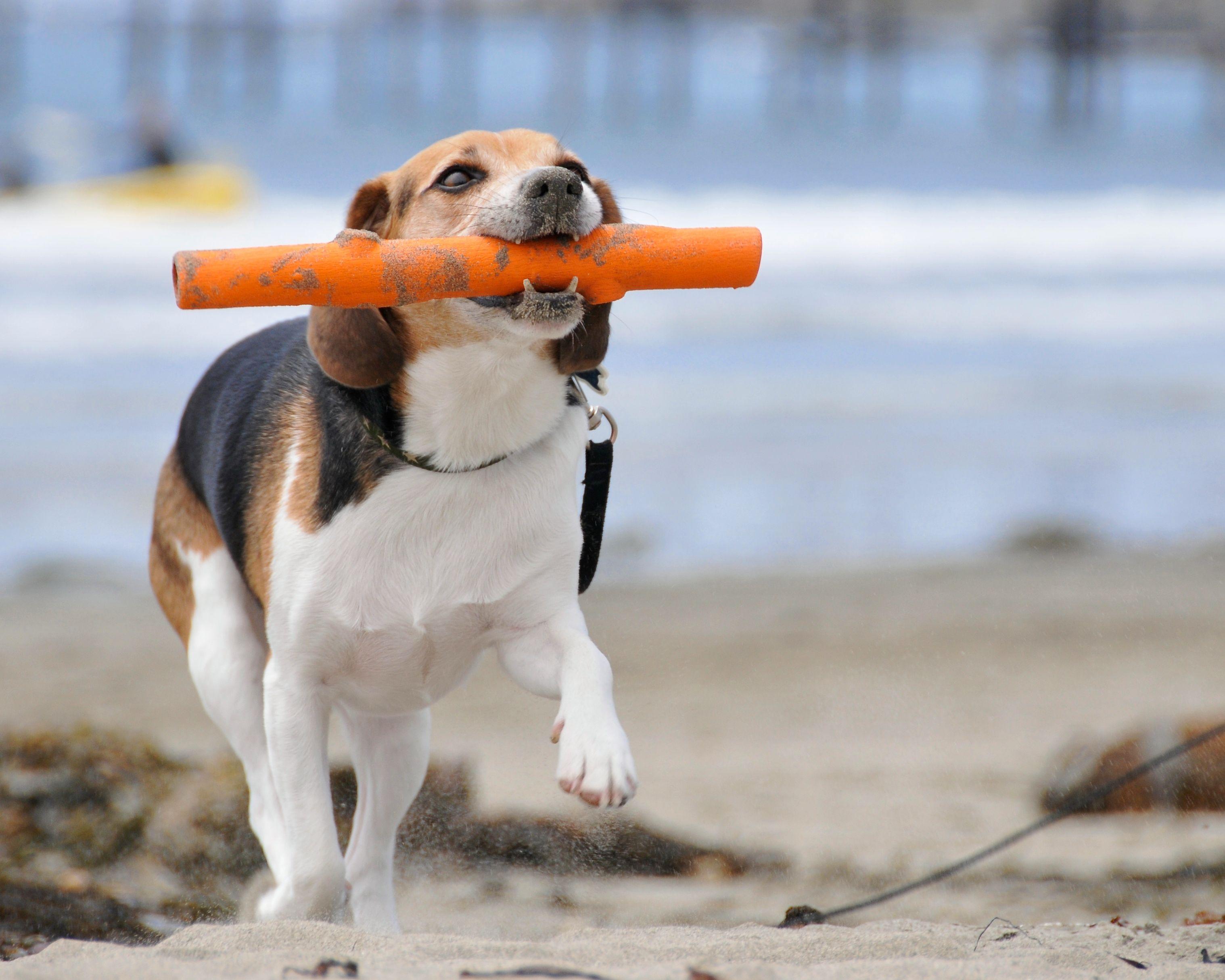 beagle fetch-compressed