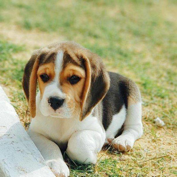 sensitive beagle