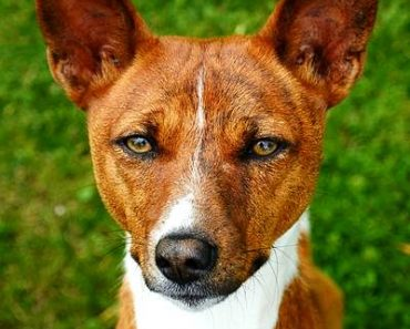 37 Interesting Facts About Basenjis